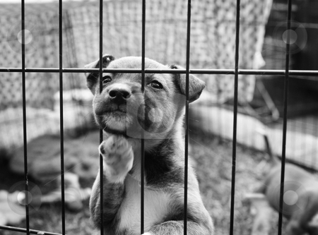 Pup in a pen stock photo, Homeless animals series. Young pup, paw up, leaning on the bars of her pen. Black and white image by suemack