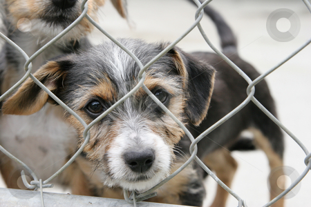Pup in a pen stock photo, Cute scruffy terrier pup in a pen looking out through the wire mesh by suemack
