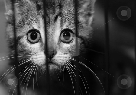 Kitten in a cage looking out stock photo, Tabby kitten looking out from behind the bars of his cage. Black and white image by suemack