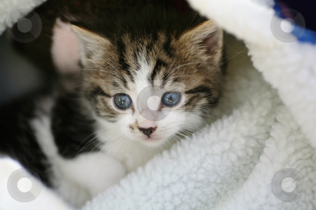 Tabby kitten in a bed stock photo, Cute tabby and white kitten snuggled in his bed by suemack