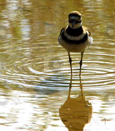 Migrating Bird stock photo, A small migratory bird standing in water at a National Wildlife Refuge by Marburg