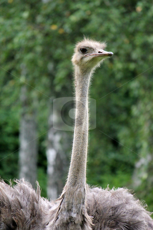 Grey ostrich stock photo, Neck and head of a grey ostrich surrounded by green vegetation by Elenarts