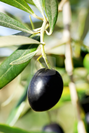 A mature olive . stock photo, A mature olive in the branch. by Inacio Pires