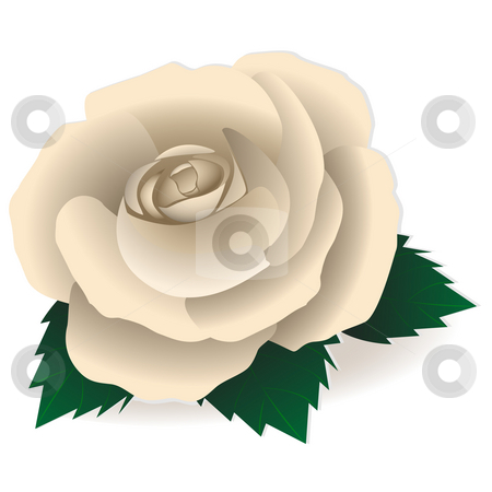 White rose stock photo, Rose of white color on a pure background by Alina Starchenko