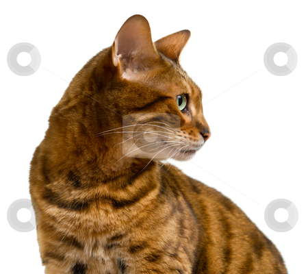 Bengal cat looking sideways in profile stock photo, Young bengal cat or kitten looking sideways in a proud profile showing its wild history by Steven Heap