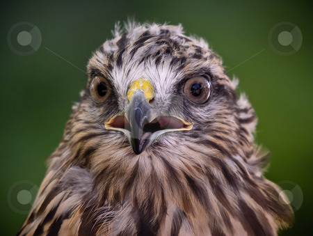 Red tailed hawk stock photo, Close-up portrait of red tailed hawk by Alain Turgeon