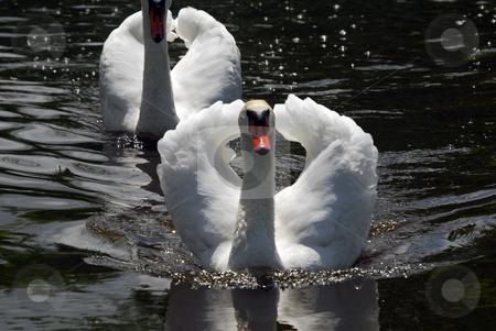 White Swan stock photo, Two white swan swimming on a dark lake by Alain Turgeon