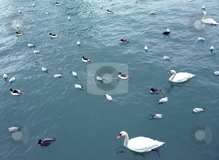 Many birds on Geneva lake stock photo, Swans, ducks and gulls floating and sleeping on Geneva lake by winter by Elenarts