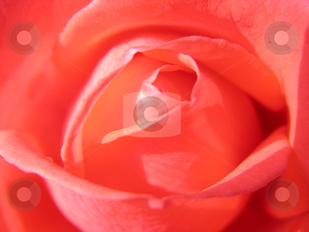 Inner view of a rose stock photo, Close-up of the inner view of a rose by Robert Biedermann