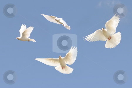 White dove in flight stock photo, Composite image of a white dove in flight by suemack