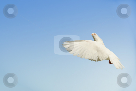 White dove flying up stock photo, Beautifl white dove flying up with nesting material in her mouth by suemack