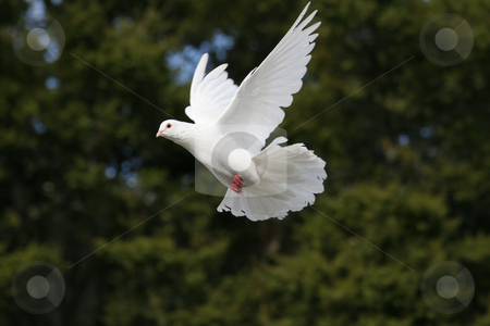 White dove in flight stock photo, Beautiful white dove in flight by suemack