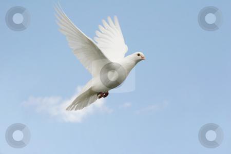 White dove in flight stock photo, Beautiful white dove in flight, blue sky background by suemack