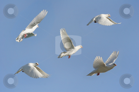 White dove in flight stock photo, Composite image of a white dove in flight by suemack