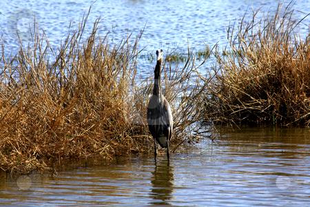 Heron stock photo, Heron standing in marsh water during high wind by Marburg