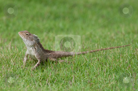 Garden Lizard stock photo, A garden lizard strolling in the grass by Arvind Balaraman