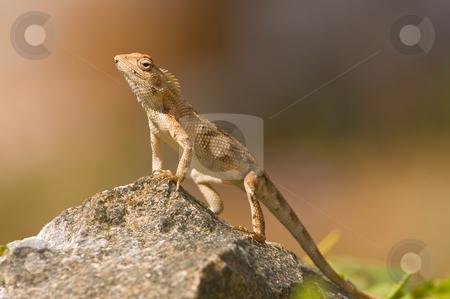 Garden Lizard stock photo, A garden lizard taking a sun bath by Arvind Balaraman