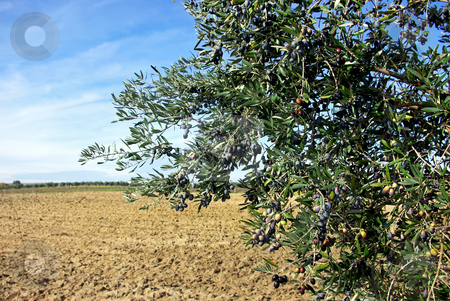 Olives in branch at farm. stock photo, Olives in branch at portuguese farm. by Inacio Pires