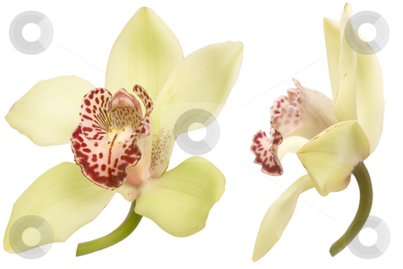 Orchid flower stock photo, Closeup of colorful orchid on white background by caimacanul
