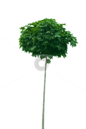 Young tree stock photo, Front view of young tree on white background by caimacanul