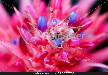 Bromeliad stock photo, Colorful flower of a cactus / Bromeliad as a close up macro shot. Focus only in the center. by Henrik Lehnerer