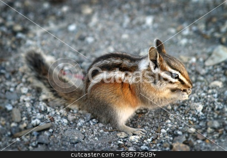 Chipmunk stock photo, Image of an eating chipmunk in Yosemite National Park. by Henrik Lehnerer