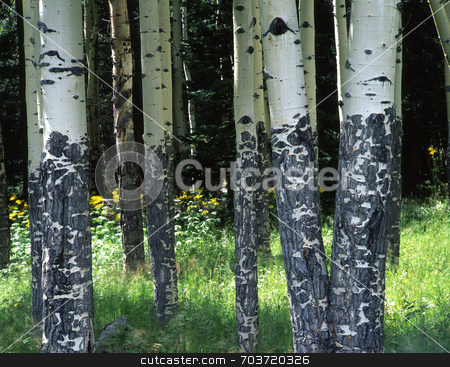 Aspens and Flowers stock photo, Yellow flowers growing in an Aspen grove located in Rocky Mountain National Park, Colorado. by Mike Norton
