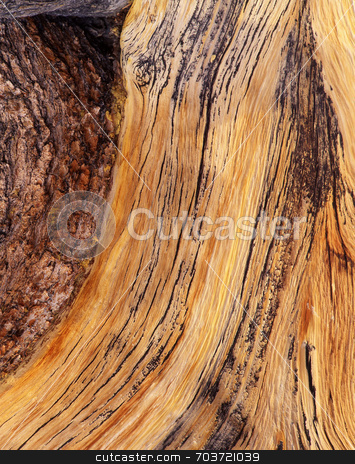 Bristlecone Pine Bark stock photo, The bark of a Bristlecone Pine Tree in the Inyo National Forest of California. by Mike Norton