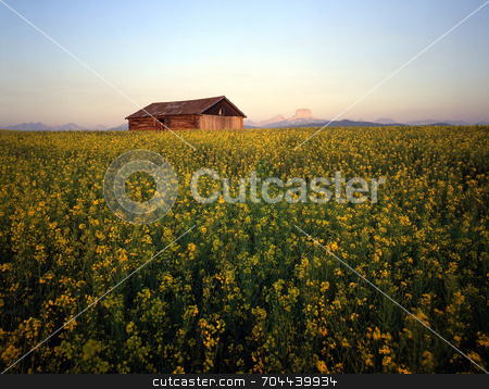 Canola Barn stock photo, An old barn in a field of canola. by Mike Norton