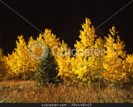 Conifer and Aspen Trees stock photo, A conifer tree among aspen trees in the White River National Forest, Colorado. by Mike Norton