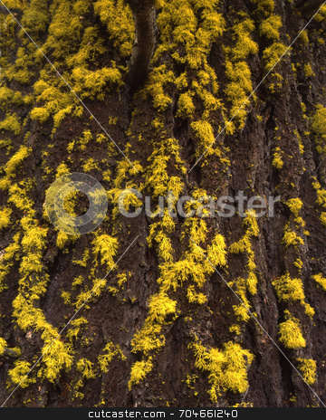 Douglas Fur and Lichen stock photo, Lichen growing on the bark of a Douglas Fur Tree. by Mike Norton