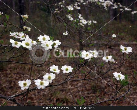East Texas Dogwood stock photo, Flowers on a dogwood tree in Texas. by Mike Norton