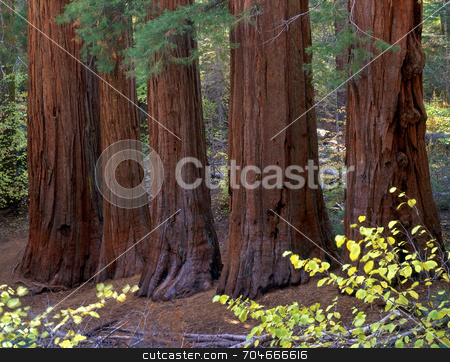 Five Sequoias stock photo, Five Sequoia Trees in Yosemite National Park, California. by Mike Norton