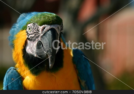 Macaw Parrot stock photo, Macaw near the beach in Ventura California by Henrik Lehnerer