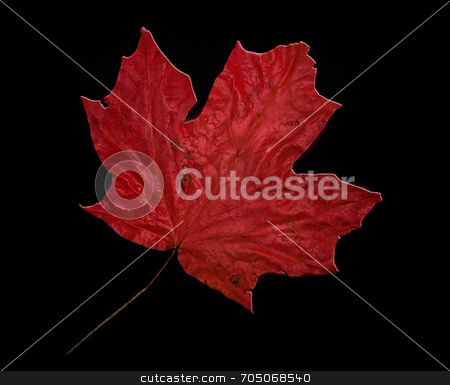Red Maple on Black stock photo, Red maple leaf on black background with photographic overlay. by J. Gracey Stinson