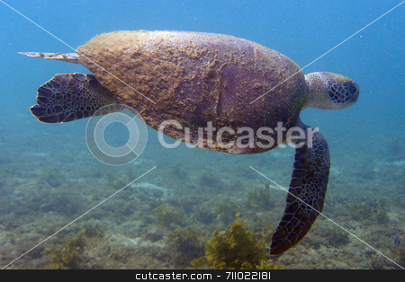 Sea Turtle stock photo, An old sea turtle with algae on its carapace, with quietly swimming. by Daniel Wiedemann