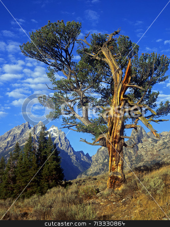 Old Patriarch stock photo, An old tree in Grand Teton National Park, Wyoming. by Mike Norton