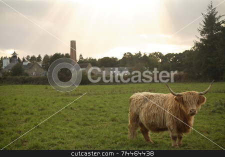 Highland Cattle stock photo, A large Highland bull on a green field looking straight into the camera with the sun rays behind it. by Daniel Wiedemann