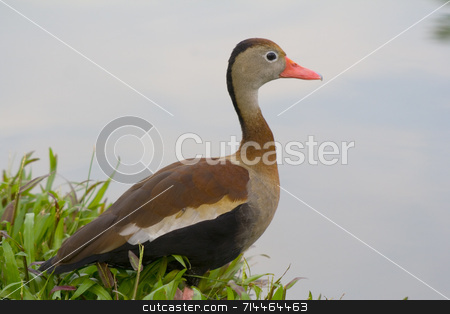 Duck by water stock photo, A beautiful coloured duck. :) by Daniel Wiedemann