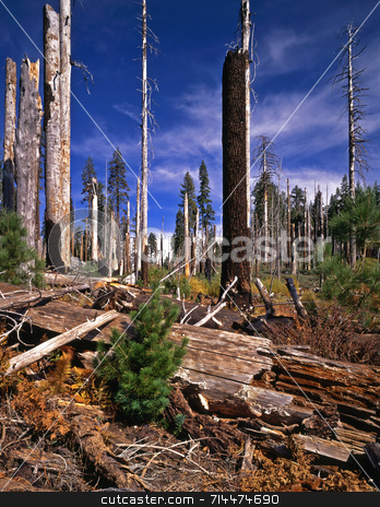 Old Fire New Growth stock photo, A young tree grows at the site of a forest fire in Yosemite National Park, California. by Mike Norton