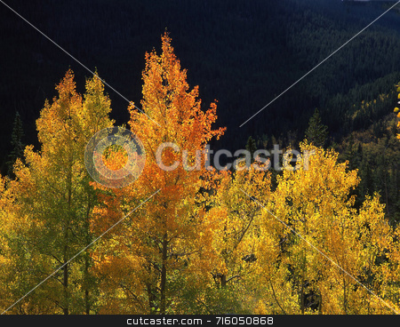 Orange Aspens stock photo, Orange and yellow aspen trees in the Arapaho National Forest of Colorado. by Mike Norton
