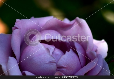 Lavender Morning stock photo, A round almost ball like lavender color rose by Henrik Lehnerer