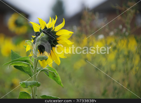 Surveying the Scene stock photo, A tall sunflower surveying the field of blooms. by Philippa Willitts