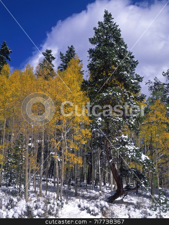 Snow Aspens stock photo, Snow and aspen trees during the autumn season. by Mike Norton