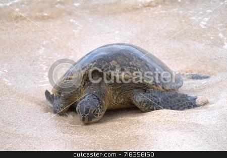 Sea Turtle stock photo,  by Robert Meyer