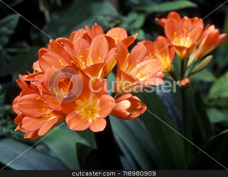 Clivia Flowers stock photo, The orange and yellow flowers of Clivia miniata. by Kathy Piper