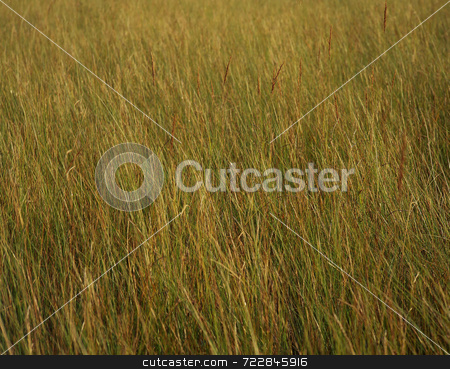 Tall Grass stock photo, Tall grass in Glacier National Park, Montana. by Mike Norton