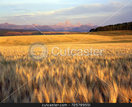 Wheat Field & Teton Range stock photo, A wheat field in Idaho with the Teton Mountains in the background. by Mike Norton