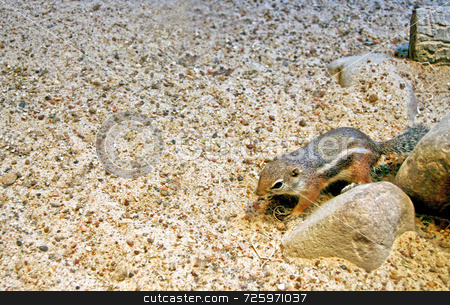 Chipmunk stock photo, A single chipmunk standing by a tiny rock by Kevin Tietz