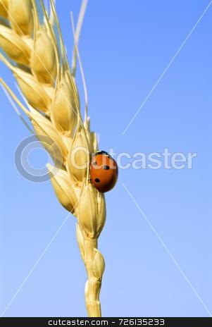 Ladybug on wheat stock photo, Lady bag on wheat steam against blue sky by Noam Armonn